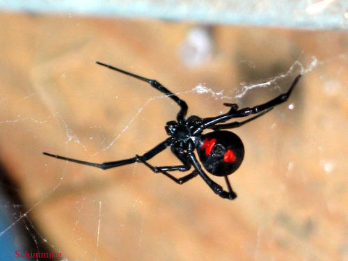 Black_widow_002