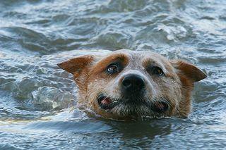 Dog in ocean 2