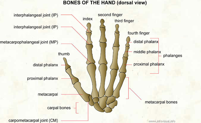027 Bones of the hand (dorsal view)